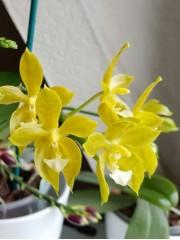 Орхидея Фаленопсис  (Phal. Su-An Cricket)