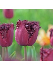 Лале (Tulipa 'Labrador')