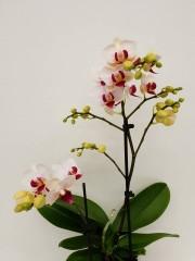 Орхидея Фаленопсис  PR4302