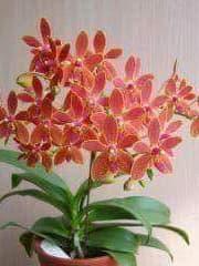 Орхидея Фаленопсис  (Phal. equestris × Ren. storiei )