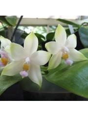 Орхидея Фаленопсис  (Phal. Penang Violacea Alba × sib)