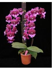 Орхидея Фаленопсис  ( Phal. Chia Shing Hot Kiss )