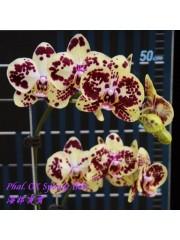 Орхидея Фаленопсис  (Phal. OX Sponge Bob)