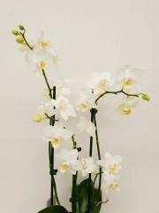Орхидея Фаленопсис  PR4371