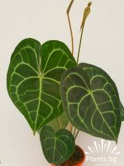 Антуриум (Аnturium clarinervium) - Цветето на любовта
