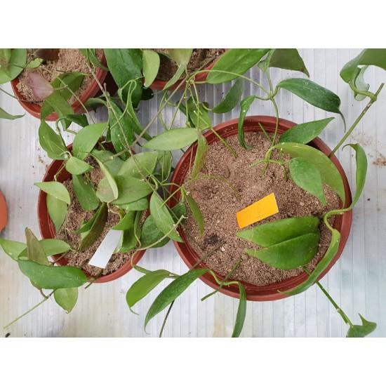 Хоя (Hoya flavida) - Резник