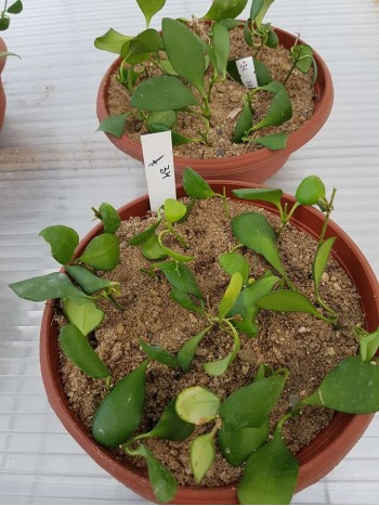 Хоя (Hoya heuschkeliana,yellow) - резник