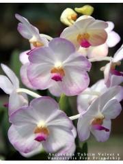 Орхидея Аскоценда  (Ascocenda Tubtim Velvet x Vascostylis Five Friendship)