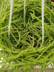 Хоя (Hoya linearis) - резник