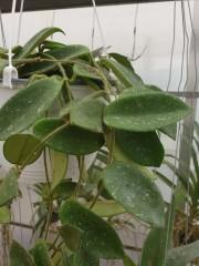 Хоя (Hoya) PR4416 - резник