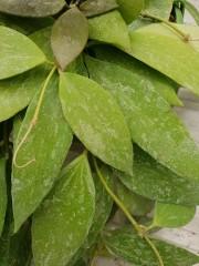 Хоя (Hoya) PR4413 - резник