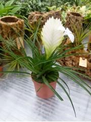 Тиландсия (Tillandsia cyanea)