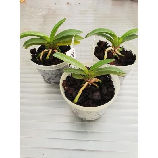 Орхидея Неофинетия (Neofinetia falcata Jangguni)