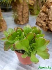 Аеониум (Aeonium tabuliforme)