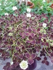 Детелина (Trifolium) - PR4448