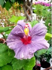 Хибискус (Hibiscus)