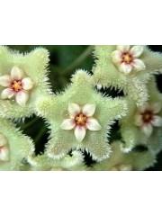 Хоя (Hoya serpens) - резник