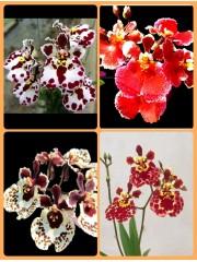Орхидея Толумния(Tolumnia) Микс - 4 броя