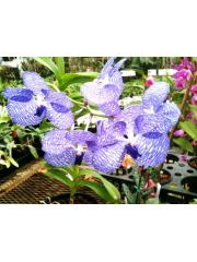 Орхидея Ванда (Vanda coerulea, Santi Chiangmai)