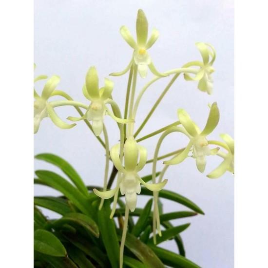 Орхидея Неофинетия (Neofinetia falcata Kishu Ryokufu)