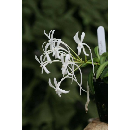 Орхидея Неофинетия (Neofinetia falcata amami)