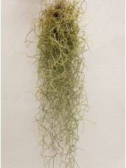 Тиландсия (Tillandsia usneoides)