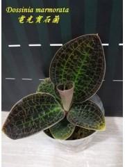 Орхидея Dossinia marmorata