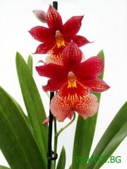 Орхидея Камбрия (Nelly Isler)