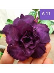 Адениум разсад - цъфти тъмно лилаво