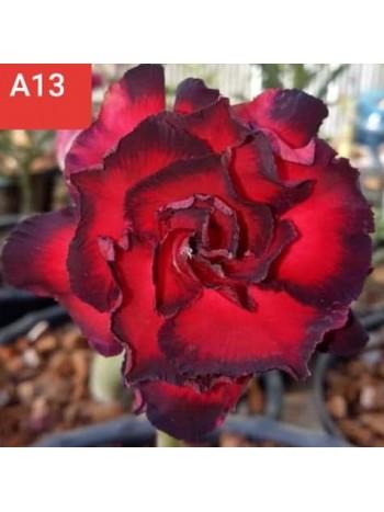 Адениум разсад - цъфти в тъмно червено
