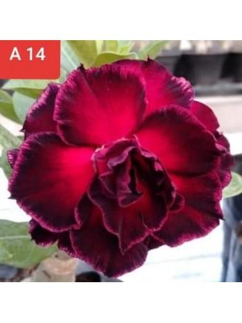 Адениум разсад - цъфти във винено червен цвят