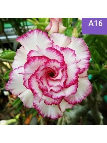 Адениум разсад - Цъфти в Бяло-розово