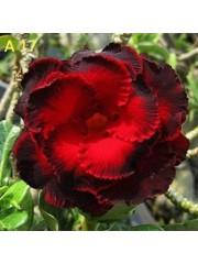 Адениум разсад - Цъфти в  Ярко червено