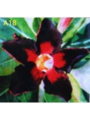 Адениум разсад - Тъмно червени листа с ярко червена основа в цвета