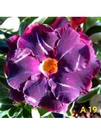 Адениум разсад - Лилаво-розов с бели пръски