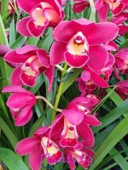 Орхидея Цимбидиум - PR4854