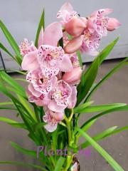 Орхидея Цимбидиум - PR4856
