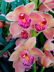 Орхидея Цимбидиум - PR4853