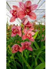 Орхидея Цимбидиум - PR4858