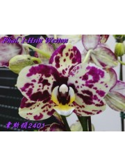 Орхидея Фаленопсис (Phal. I-Hsin Weston)