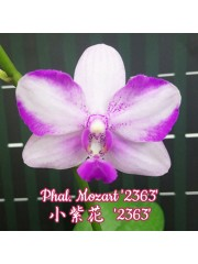 Орхидея Фаленопсис (Phal. Mozart '2363')
