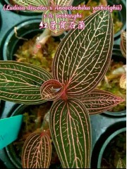 Лудизия (Ludisia discolor x Anoectochilus roxburghii) x A. roxburghi