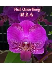 Орхидея Фаленопсис (Phal. Queen Barry)