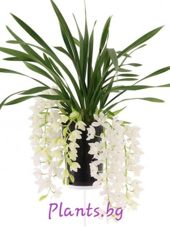 Орхидея Цимбидиум (Cymbidium Ice Cascade)