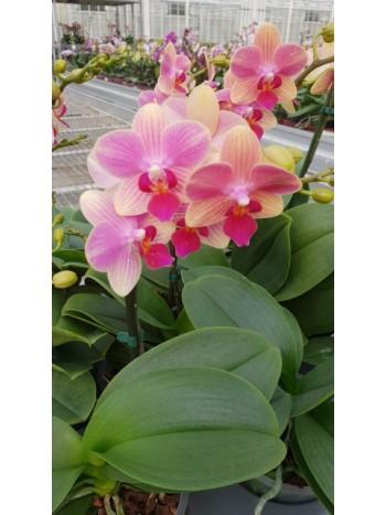 Орхидея Фаленопсис - PR4900