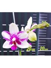 Орхидея Фаленопсис (Phal. Jiaho Summer Love )