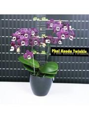 Орхидея Фаленопсис (Phal. Kaoda Twinkle )