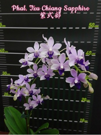 Орхидея Фаленопсис (Phal. Tzu Chiang Sapphire)