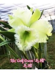 Орхидея  Rlc. Golf Green