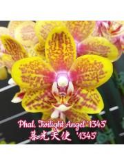 Орхидея Фаленопсис (Phal. Twilight Angel '1345' )